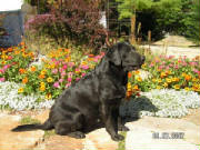 Black Labrador Retriever sitting in flower garden
