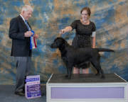 Black Labrador winning a ribbon
