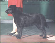 Black Labrador Retriever after winning at a dog show