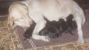 Yellow Labrador with her Black Labrador puppies
