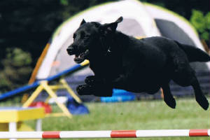 Black Labrador Retriever jumping in agility competition