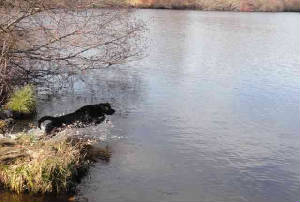 Black Labrador leaping into the water