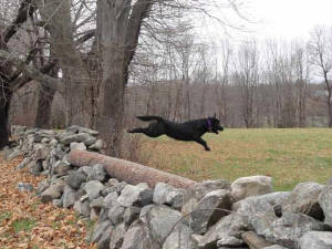 Black Lab jumping over a stone wall
