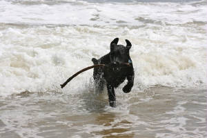 Black Labrador playing in the ocean