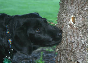 Black Lab looking at a hole in the tree