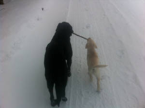 Twp Labradors carring a stick