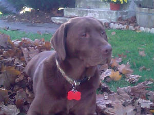Choc Lab in the leaves