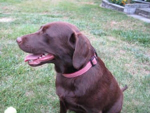 Chocolate Labrador with a pink collar