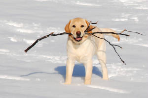 Yellow Labrador with a stick in the snow