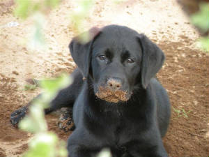Labrador puppy with dirt on her nose