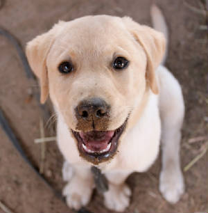 yellow lab puppy with dirt on his nose