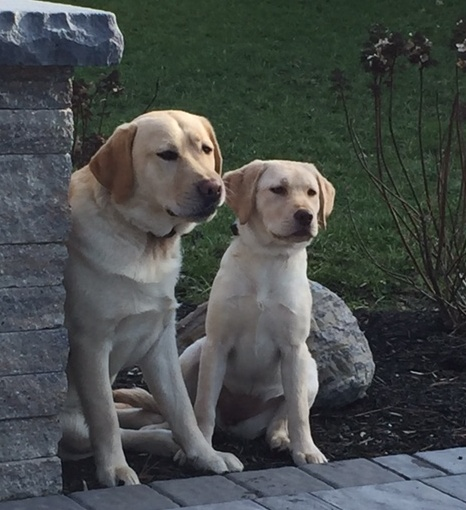 Yellow Labradors sitting by a pillar