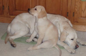 yellow Labrador puppy with adult Labrador