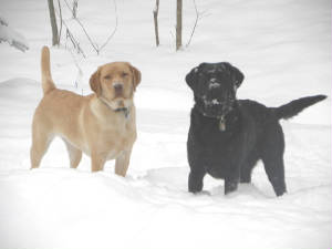 Labradors in the snow