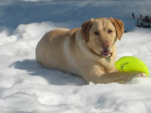 Yellow Labrador playing with frisbee