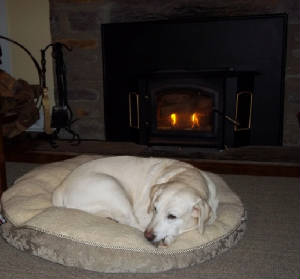 Yellow Labrador Retriever laying by the fire