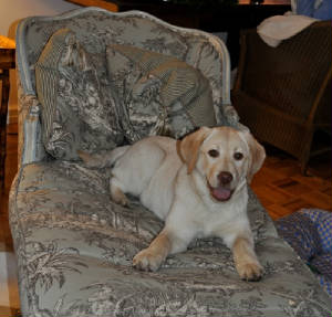 Yellow Labrador Retriever puppy on the chair