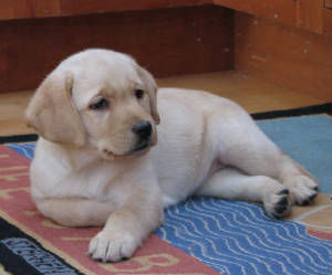 Yellow lab puppy on her rug