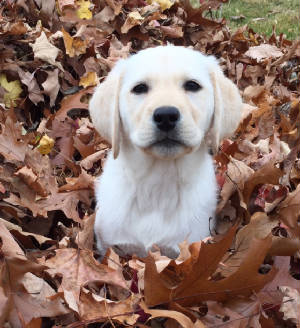 Yellow Labrador in leaves
