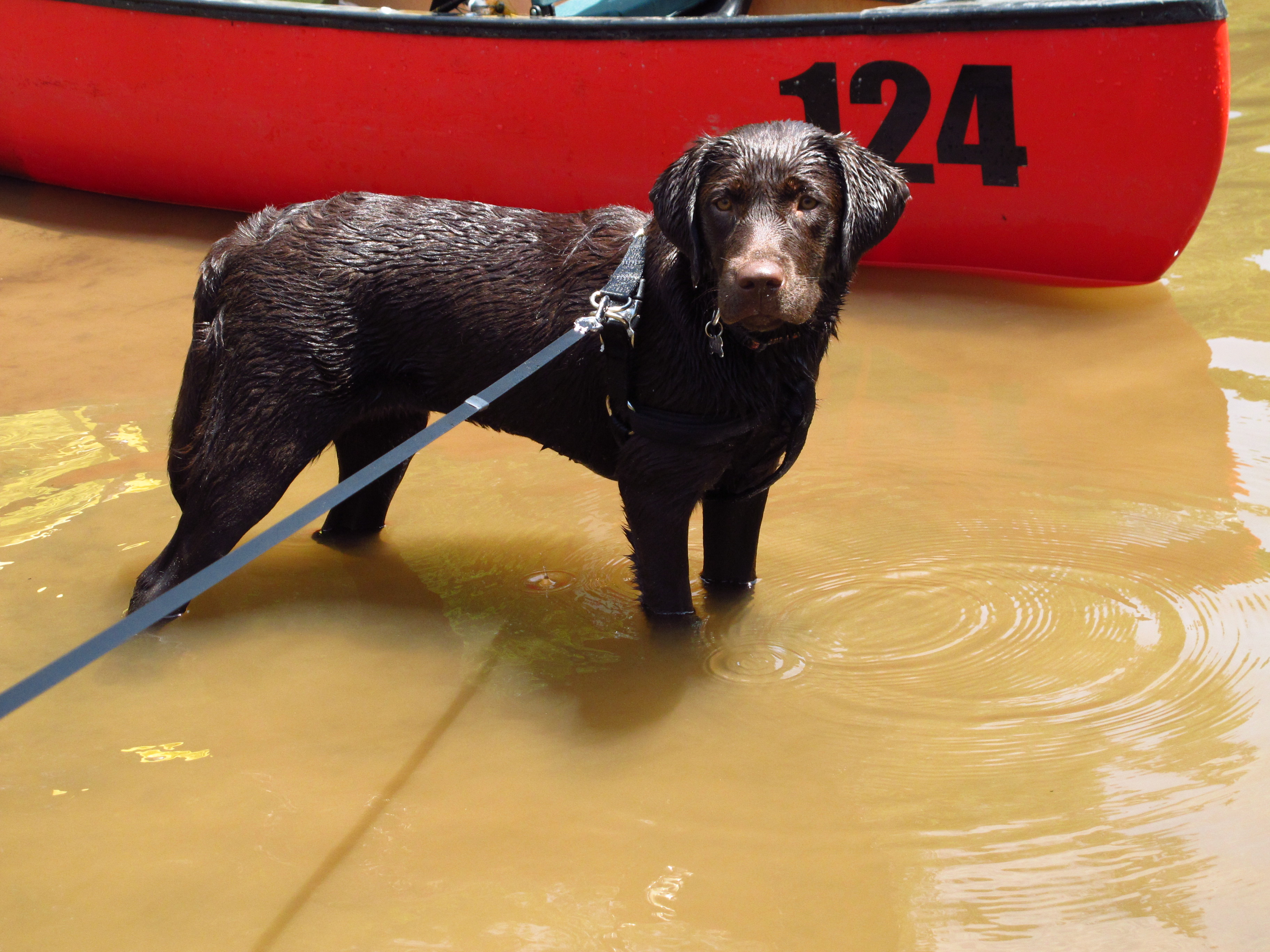 Chocolate Labrador checking out the canoe