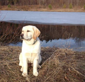 Yellow Labrador by the water