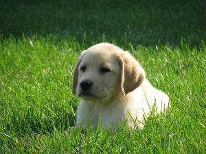 Yellow Labrador puppy in the grass