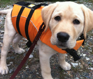 yellow labrador puppy with a life jacket on