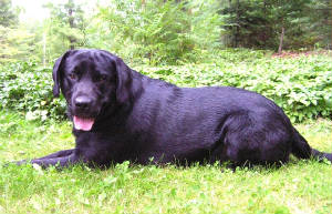 Black Labrador Retriever laying in the grass