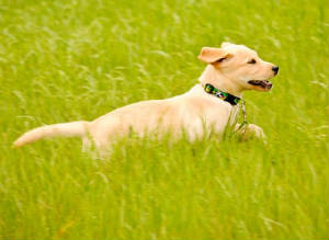 Yellow Labrador pup running through tall grass