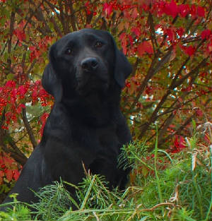 Black Labrador in the fall