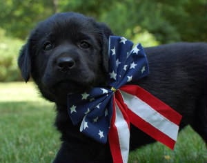 Black Labrador puppy with 4th of July bow