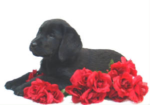 Black Lab puppy laying on red roses