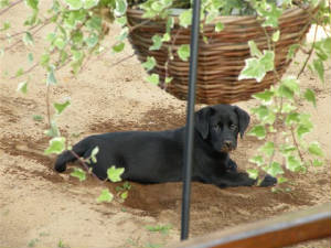 Black Labrador puppy digging in the dirt