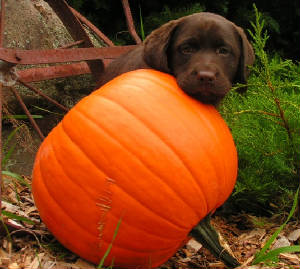 Chocolate Labrador puppy with a pumpkin