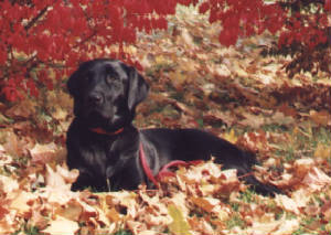 Black Labrador Retriever laying in the leaves
