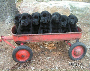 Black Labrador puppies in a red wagon