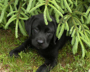 Black Labrador Retriever puppy under a pine tree