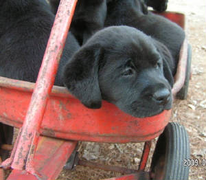 Black Labrador Retriever puppy in a red wagon