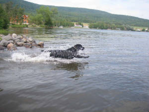 Black Labrador Retriever Jumping in the water