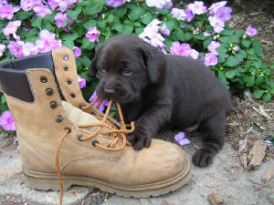 Chocolate Labrador puppy playing with a boot