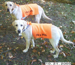 Yellow Labradors with orange vests