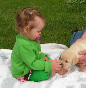Baby petting yellow labrador puppy