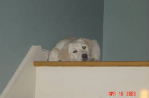 Labrador puppy waiting at the top of the stairs