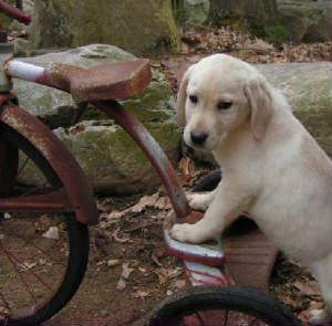 Yellow Lab Pup on a tricycle