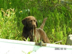 chocolate labrador puppy in the grass