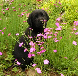 Black Lab puppy in the flowers
