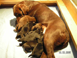 Chocolate Labrador mother with her new litter