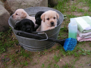 Labrador Retiever puppies in a wash tub