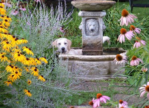 Yellow Labrador Retriever in the garden fountain