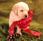 Yellow Lab puppy with a red bow